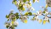 河北承德的梨花