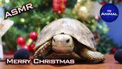 【my Animal】乌龟圣诞快乐吃的声音动物可爱乌龟32(2019年12月24日10时24分)