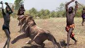 南非原始部落男子成年礼:猎杀狮子