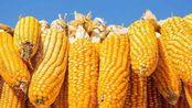 玉米出现五连涨,有持续性吗?年底能到多少钱?