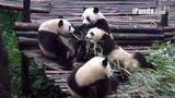 2014-07-09_乔思对淼一起吃竹子,一起抢竹子
