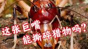 【里表不一の恐怖猎手】澳洲王丑螽Anostostoma australasiae 撕裂蝗虫