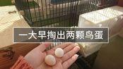 【20191111】这对表面夫妻终于弃蛋了,孵不出的蛋,怎么吃好呢?