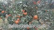 四川不知名的桔子,早已订购一空,批发价竟然能达到5.6块一斤