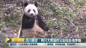 四川雅安:两只大熊猫昨日起程赴俄罗斯