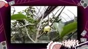 广西巴马长寿乡【岜马源降三高金花茶】  圣人不仁—在线播放—优酷网,视频高清在线观看