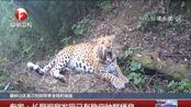 秦岭山区首次拍到带崽金钱豹画面