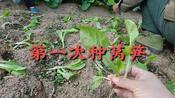 安徽广德市,回老家农村,第一次和爸妈种莴笋,有种过菜的吗,