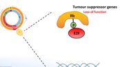 tumour suppressor genes retinoblastoma and the two hit hypothesis p53