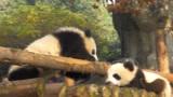 熊猫看到弟弟卡在树缝中,立刻冲过来抢救,镜头记录全过程