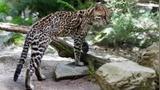 """【四川】南充某村近100只家禽被袭致死 """"肇事者""""为国家重点保护动物豹猫"""
