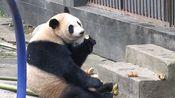 【大熊猫】20191202雅安碧峰峡基地幼儿园 乔伊吃笋