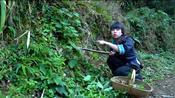 贵州有种野菜叫鱼腥草,加手搓糊辣椒味道太香了,贵州人都爱吃