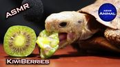 【my Animal】Tortoise Eating Kiwiberries 助眠 [47] Animal 助眠(2020年2月29日10时21分)