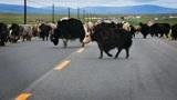 西藏撞死一头牦牛有多严重?要赔多少钱?就连保险公司也很无奈