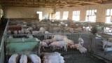 最新通知:生猪养殖不需要办理建设用地审批,不需要耕地占补平衡