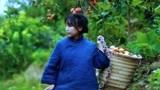秋天是山上柿子成熟的季节,李子柒摘下一串,挑一个熟透的偷偷咬上一口