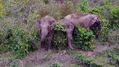 普洱市首次启用无人机开展野生亚洲象监测预警