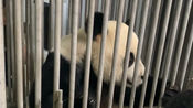 【大熊猫】金虎:娘家来人给我检查身体啦!我可不能给奶妈丢脸!(截取视频部分片段,请勿转载)