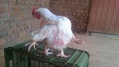 快餐店食用的鸡,真有8条腿6个翅膀?看完你还敢吃吗?