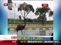"""[北京您早]鸸鹋公路狂奔上演""""出逃记"""""""