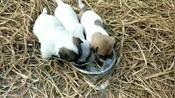 18天的小土狗,母乳吃不饱,主人端来一点面食,很快就消灭了!