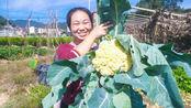 媳妇背着孩子去菜地,摘了一棵花菜,说漂亮得像朵花