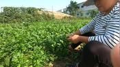开封杞县百亩香菜地,老妈一人一天能铲200斤,能挣80多块。