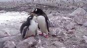 南极企鹅母子(2).swf—在线播放—优酷网,视频高清在线观看