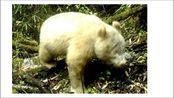 白色大熊猫!史上第一只被发现了,再也没有熊猫眼了