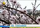 阜新:万亩杏花迎春绽放[第一时间]