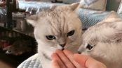 女主人每次外出回家都要被检查,猫咪生怕她在外面抱了别的猫