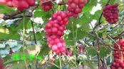 鲁山县辛集乡葡萄熟了