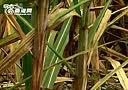 海南今年糖蔗种植面积减少21%-单极滑线 www.yztb-company.com 转载