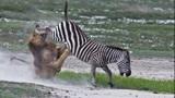 斑马被狮子咬住,为逃脱狮口彻底拼命,没想到下场会是这样?