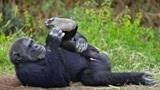 艾滋病源于黑猩猩,世界首例艾滋病患者,到底对黑猩猩做了什么?