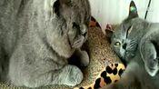 母猫快生了!公猫寸步不离守在它身边!有爱的表情就像个暖男!