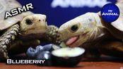 【my Animal】乌龟助眠和朋友一起吃蓝莓|动物可爱的乌龟26(2019年11月22日23时31分)