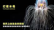 【神奇动物圈】第二期揭秘世界上永生的生物——灯塔水母