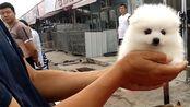 实拍狗市:大哥卖的这只柴犬不错,大妹子卖自家猫不到公母,大爷说我这布偶猫就差这嘎才卖三百,要不然六七千都不卖,不过这也是一只完美的布偶猫