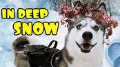 【Ms. Laika The Husky】狗在深雪中玩
