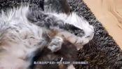 男子捡了只流浪猫,半年时间就一米多长!问了专家才晓得赚翻了