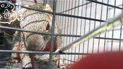 [花枝鼠][红腹松鼠]绿糊+LYDD家的糊糊!松鼠:1岁多,花枝鼠:2个多月!糊糊可以平时吃,不能当主食!