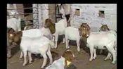 波尔山羊高产养殖技术 波尔山羊养殖大全 养殖的注意事项
