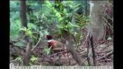 雅灰乡七彩山鸡宣传片_丹寨三易电子商务有限公司制作