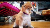 【柴犬Shiro Suki】慢动作模式的皮皮柴~