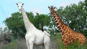 """长颈鹿还有白色的?走路自带""""仙气"""",却存在唯一缺憾!"""