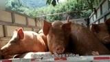 一辆面包车里狂塞24头猪,买通监管人员、伪造证明非法调运,一头猪赚上千