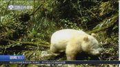 全球首例!卧龙国家级保护区发现白色大熊猫