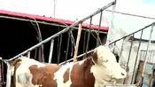 7月27日玉良养殖场最新视频
